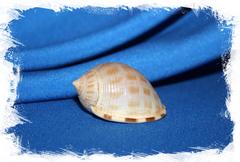 Кассис сабурон (Semicassis saburon)