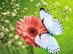 Картина раскраска по номерам 40x50 Бабочка на гербере