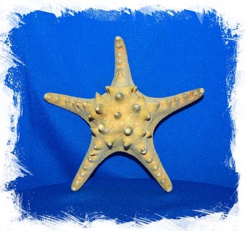 Морская Звезда 12,5 - 15 см