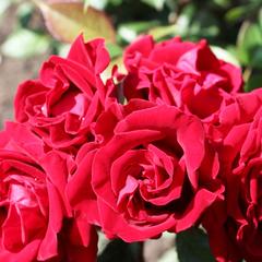 Роза миниатюрная Таманго
