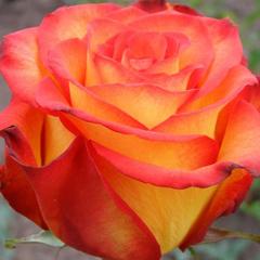 Роза флорибунда Циркус