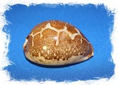 Ципрея Маппа