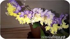 Стрептокарпус, Sakura (P.Kleszczynski)