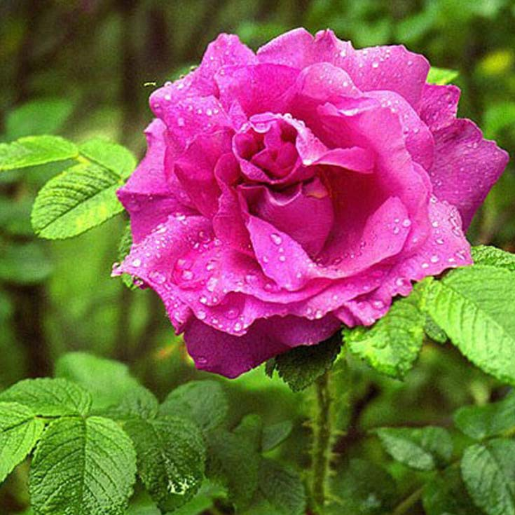 шиповник цветок