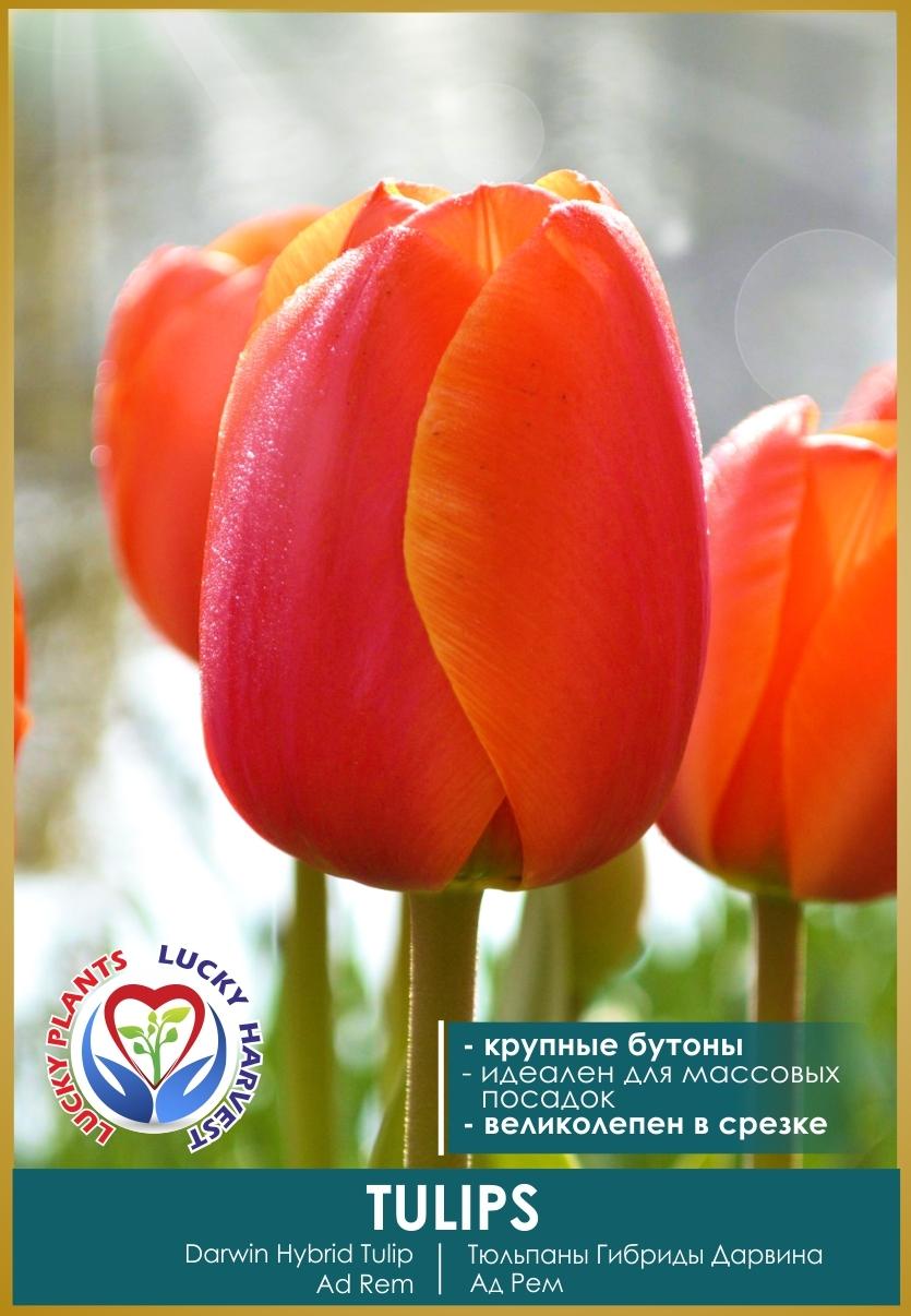 Луковицы Тюльпана Гибриды Дарвина Ад Рем  (Darwin Hybrid Ad Rem) ТМ LUCKY HARVEST