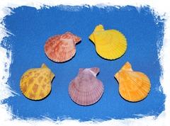Цветной морской гребешок двойной 3,5 см