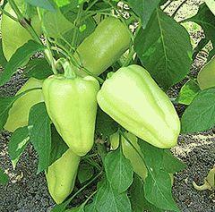 Иветта F1 семена перца сладкого (Enza Zaden / Энза Заден)