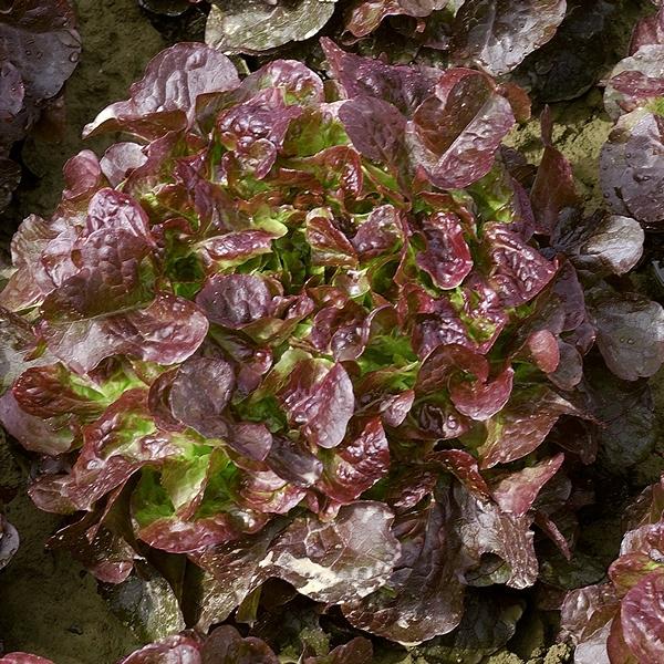Seminis Вулсини семена салата листового (Seminis / Семинис) Vulsini.jpg