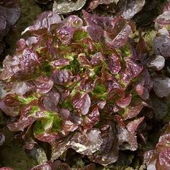 Вулсини семена салата листового (Seminis / Семинис)