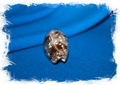 Конус аренатус (Conus arenatus)