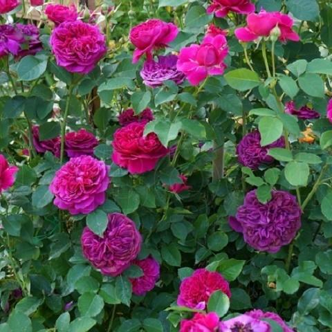 Роза английская душистая Уильям Шекспир 2000