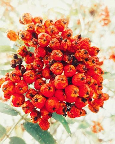 Рябина красная, ягода сушёная