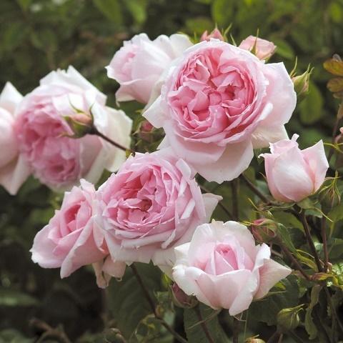Роза английская душистая Зе Веджвуд Роуз