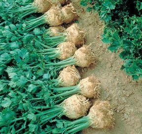 Сельдерей Принц семена сельдерея (Nunhems / Нюнемс) ПРИНЦ_семена_овощей_оптом.jpg