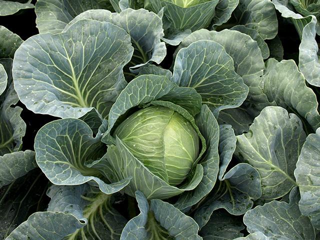Белокочанная Вердеко F1 семена капусты белокочанной (Takii / Таки) Вердеко_F1.jpeg
