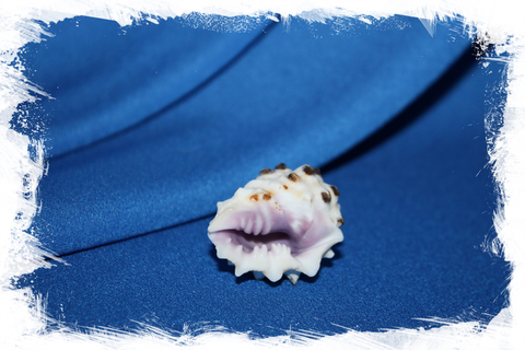 Purple Pacific Drupe, Drupa morum, Ракушка пурпурная тихоокеанская друпа