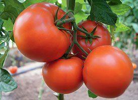 Томат Бостина F1 семена томата индетерминантного (Syngenta / Сингента) Бостина_F1_семена_овощей_оптом.jpg