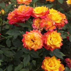 Роза миниатюрная Флэйм