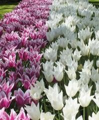 Тюльпан Лилиецветный Уайт Триумфатор