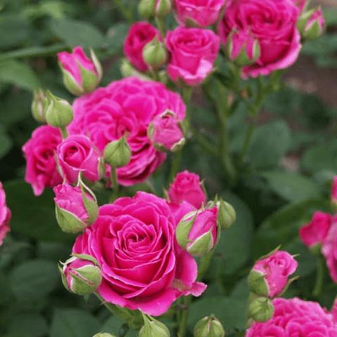 Роза чайно-гибридная Расберри