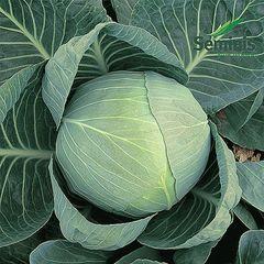 Коля F1 семена капусты белокочанной (Seminis / Семинис)