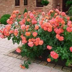 Роза Вестерленд Westerland