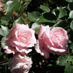 Роза чайно-гибридная Утро Москвы