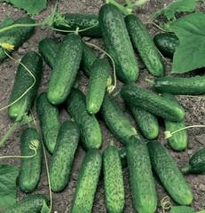 Меренга F1 семена огурца партенокарпического (Seminis / Семинис)