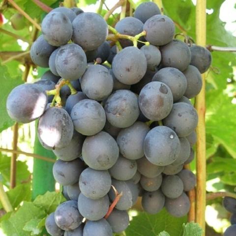 Виноград сорт Неретинский (неукрывной)