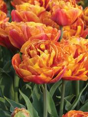 Тюльпан махровый ранний Брауни