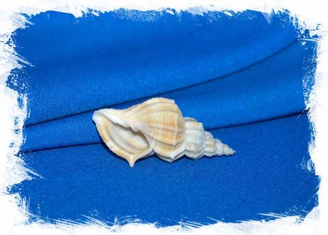 Канцеллария лурата (Cancellaria lyrata)