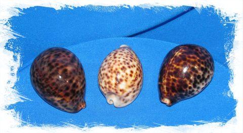 Ципрея Тигрис 7 - 8 см