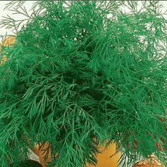 Кутузовский семена укропа (Гавриш)