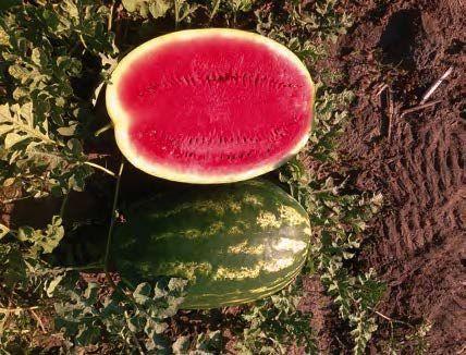 Арбуз Одиссей F1 семена арбуза (Sakata / Саката) ОДИССЕЙ_F1_семена_овощей_оптом.jpg