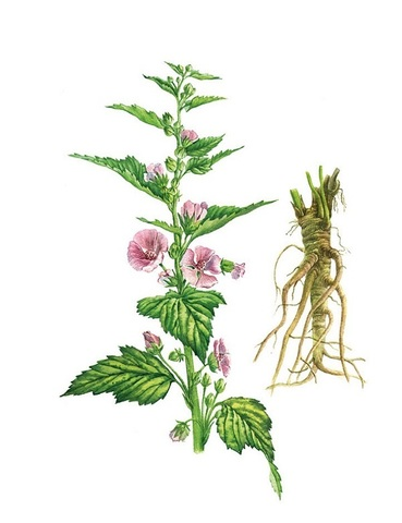 Алтей лекарственный (Althaea officinalis)