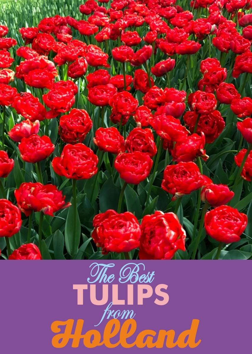 Луковицы Тюльпана Махрового Позднего Miranda (Миранда) TM Jan de Wit en Zonen B.V. (количество в упаковке 3 луковицы)