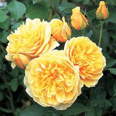 Купить Роза английская Грэхэм Томас