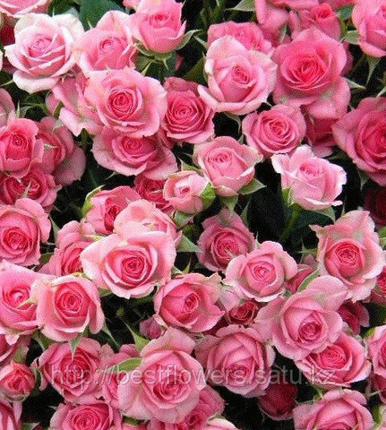 Роза кустовая (Спрей)