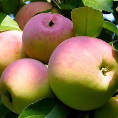 Яблоки Звездочка (1 кг)