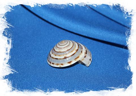 Архитектоника макулата (Architectonica maculata)