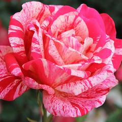 Роза чайно-гибридная Пассадена