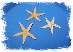 Сахарная морская звезда 6-10шт