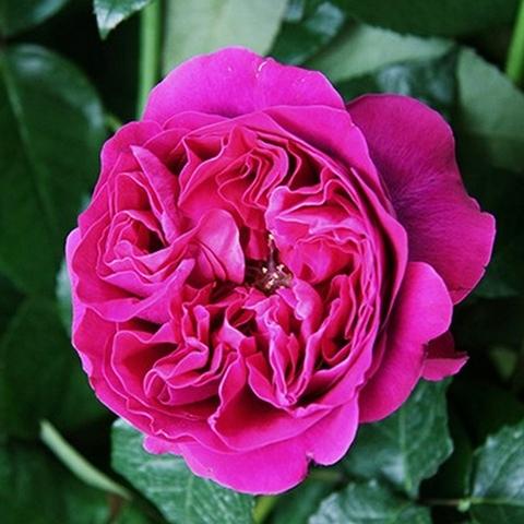 Роза парковая Кейт