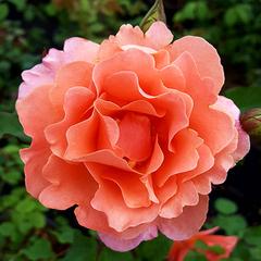 Роза плетистая Алибаба