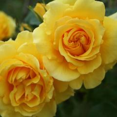 Роза плетистая Римоза