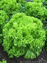 Оникс семена салата лолло блонда (Nunhems / Нюнемс)