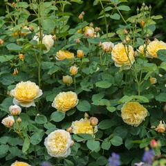 Роза парковая ШАРЛОТТА