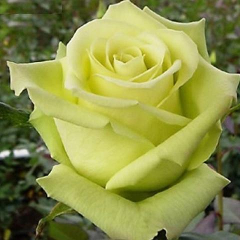 Роза чайно-гибридная Амандина