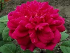 Sophy Rose (Софи Роуз)