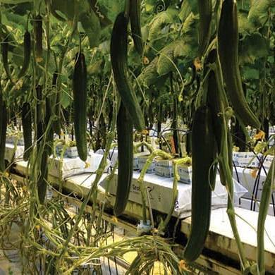 Огурец Тару F1 семена огурца партенокарпического (De Ruiter Seeds / Де Ройтер Сидс) Тару_.jpg